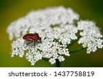 Strip Wanze Beetle Of The...