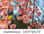 bird and sakura in japan full... | Shutterstock . vector #1437765173
