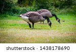 Two Canada Geese Feeding In A...