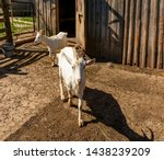 white milk goats in a pen near... | Shutterstock . vector #1438239209