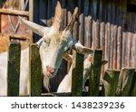 white milk goats in a pen near... | Shutterstock . vector #1438239236