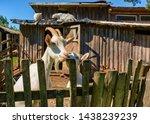 white milk goats in a pen near... | Shutterstock . vector #1438239239
