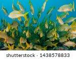 school of smallmouth grunts in...   Shutterstock . vector #1438578833