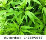 green leaves background. spring ... | Shutterstock . vector #1438590953
