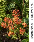 Small photo of Early Morning Sun on the Bright Orange Slipper Flower (Calceolaria integrifolia 'Kentish Hero') in a Shady Herbaceous Border in a Country Cottage Garden in Rural Devon, England, UK