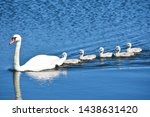 White Mother Swan Swimming Wit...