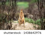 Australian Wallaby Coming Out...