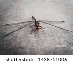 Stock photo dragonfly black living dragonfly dragonfly macro shot 1438751006