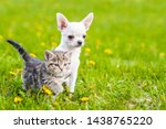Stock photo chihuahua puppy and a kitten walking together on a green summer grass 1438765220