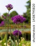 pretty purple allium flowers...