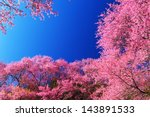 Spring Pink Cherry Blossoms...