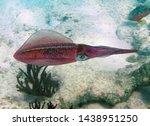 Reef Squid Bonaire Caribbean...