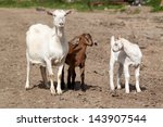 Goat With Kids On Pasture