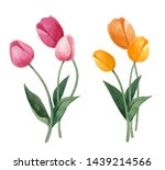 Watercolor Hand Painted Tulips...