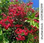 red blossom flowers. maltese... | Shutterstock . vector #1439382599