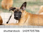 Stock photo cute puppy belgian shepherd malinois portrait of a puppy 1439705786