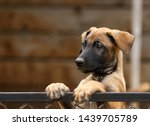 Stock photo cute puppy belgian shepherd malinois portrait of a puppy 1439705789