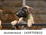 Stock photo cute puppy belgian shepherd malinois portrait of a puppy 1439705810