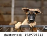 Stock photo cute puppy belgian shepherd malinois portrait of a puppy 1439705813