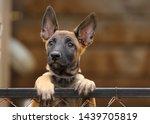 Stock photo cute puppy belgian shepherd malinois portrait of a puppy 1439705819