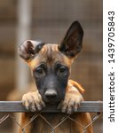 Stock photo cute puppy belgian shepherd malinois portrait of a puppy 1439705843