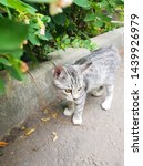 Stock photo cute gray kitten playing outside gray kitten with beautiful amber colored yellow eyes 1439926979
