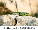 green skin lizard comes out of...   Shutterstock . vector #1440382406