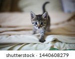 Stock photo cat walking on bed in the house room veterinary care animals cats kitten home walking towards 1440608279
