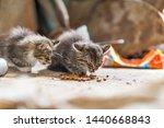 Stock photo two homeless kittens eat cat food 1440668843