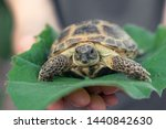 Stock photo the central asian tortoise also known as the asian brown tortoise sits on a leaf of burdock in 1440842630