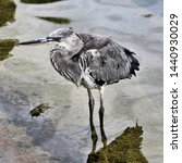 A Picture Of A Juvenile Heron...
