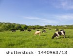 Cows On A Green Field Grazing...