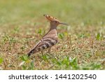 close up of hoopoe standing on... | Shutterstock . vector #1441202540