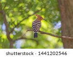 close up of hoopoe sitting on... | Shutterstock . vector #1441202546