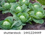 Cabbage Grows On A Bed In The...
