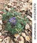 A Lupinus Texensis Plant With...