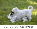 Stock photo two white swiss shepherds puppies playing in garden 144127759