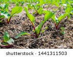 accurate raised garden bed with ... | Shutterstock . vector #1441311503