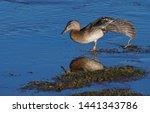 A Female Mallard Duck Balances...