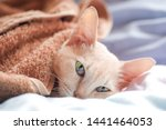 Stock photo the sick cat slept and had a blanket covered on the bed cat s health concept soft focus 1441464053