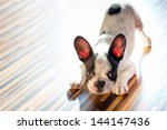 Stock photo french bulldog puppy at home 144147436