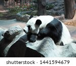 Chinese Panda Taking A Nap In...