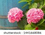 Beautiful Pink Hydrangea Or...