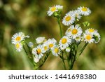 daisy flower in yellow and... | Shutterstock . vector #1441698380