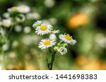 daisy flower in yellow and... | Shutterstock . vector #1441698383