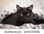 Stock photo lazy big black cat laying on bed 144170506