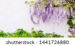 Flowering Wisteria Plants On...