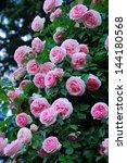 Stock photo climbing rose eden 144180568
