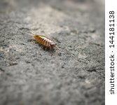 Small photo of Sea slater (sea louse) on stone surface