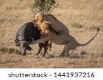 Two Male Lion Attack Buffalo...
